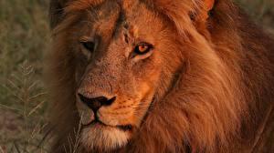 Hintergrundbilder Löwen Nahaufnahme Schnauze Starren ein Tier