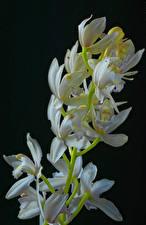 Hintergrundbilder Orchidee Hautnah Schwarzer Hintergrund Weiß Blumen