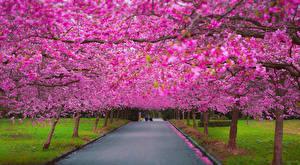 Pictures Parks Flowering trees Avenue Pavement Sakura Cities