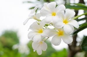 Fotos Frangipani Großansicht Weiß Blumen