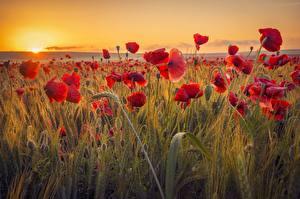 Hintergrundbilder Mohnblumen Felder Sonnenaufgänge und Sonnenuntergänge Ähre Blüte