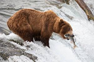 Bakgrunnsbilder Elver Elv Brunbjørn En fisk Fiske En foss Jakt Dyr