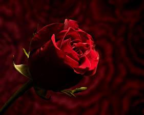 Desktop hintergrundbilder Rosen Großansicht Bokeh Rot Blumen