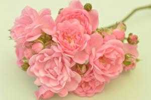 Fotos Rose Großansicht Farbigen hintergrund Rosa Farbe Blüte