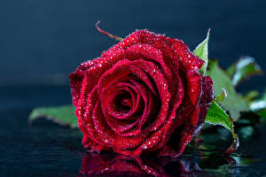 Desktop hintergrundbilder Rosen Nahaufnahme Burgunder Farbe Tropfen Blumen