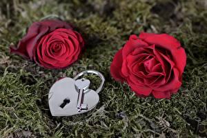Bakgrunnsbilder Roser Moser Rød Hengelåser Nøkkel blomst