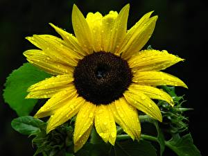 Picture Helianthus Closeup Black background Yellow Drops Flowers