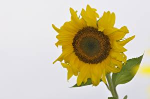 Image Helianthus White background Yellow Flowers