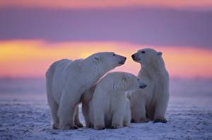 Fotos & Bilder Sonnenaufgänge und Sonnenuntergänge Bären Eisbär Schnee Drei 3 Familie Tiere