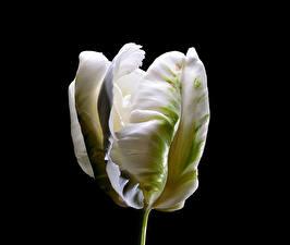 Фотография Тюльпаны Крупным планом Черный фон Белый Цветы