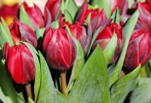 Image Tulips Closeup Red Wine color Flowers