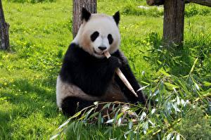 Bilder Ein Bär Großer Panda Gras Sitzend