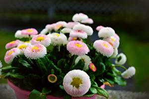 Hintergrundbilder Gänseblümchen Bokeh Blumen