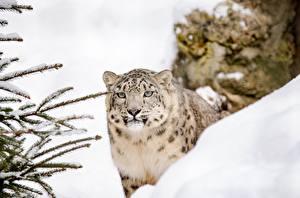 Bilder Große Katze Irbis Schnee Starren Tiere