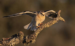 Fonds d'écran Oiseau Branche Aile Elanus caeruleus Animaux