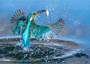 Hintergrundbilder Vogel Fischerei Eisvogel Wasser spritzt