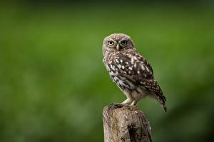 Photo Bird Owl Bokeh little owl