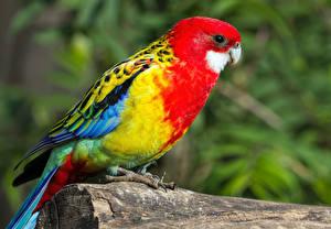 Pictures Bird Parrot Blurred background Animals
