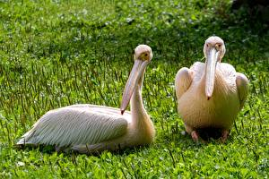 Fotos Vögel Pelikane Gras Schnabel 2 Tiere