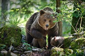 Bilder Bären Braunbär Jungtiere Mutter Drei 3 Alexander Perov Tiere