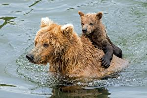 Images Bear Grizzly Cubs Water Two Swim Wet Animals