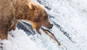 Bakgrunnsbilder Bjørn Brunbjørn Fiske En fisk Fosser Jakt Dyr
