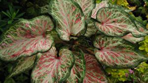 Фото Каладиум Крупным планом Листья Цветы