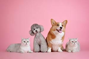 Fotos & Bilder Katze Hunde Farbigen hintergrund Liegt Pudel Welsh Corgi Tiere