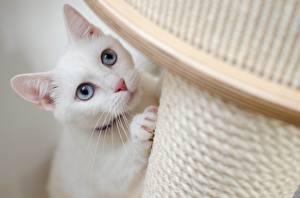 Hintergrundbilder Katze Starren Weiß Schnurrhaare Vibrisse Pfote Tiere