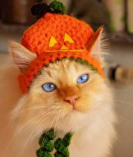 Hintergrundbilder Hauskatze Halloween Schnauze Mütze Blick