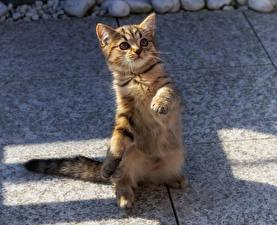 Fotos Hauskatze Katzenjunges Pfote Blick ein Tier
