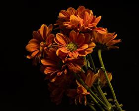 Fotos Chrysanthemen Nahaufnahme Schwarzer Hintergrund Orange Blumen
