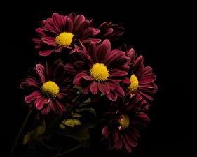 Bilder Chrysanthemen Nahaufnahme Schwarzer Hintergrund Dunkelrote Blumen