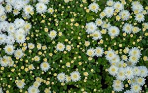 Bilder Chrysanthemen Viel Weiß Blütenknospe Blüte