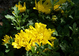 Photo Chrysanthemums Yellow Flowers