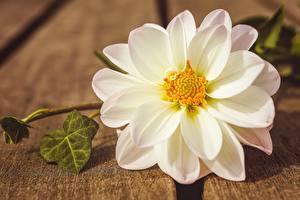 Images Closeup Dahlias White flower