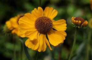 Fotos Hautnah Gelb Bokeh Helenium, Sneezeweed Blumen