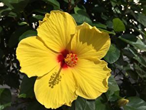 Bilder Großansicht Eibisch Gelb Blumen