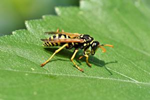 Wallpaper Closeup Insects Wasp Leaf