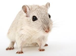 Bilder Großansicht Mäuse Weißer hintergrund Starren Schnurrhaare Vibrisse Tiere
