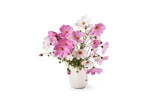 Bilder Kosmeen Weißer hintergrund Vase Blüte