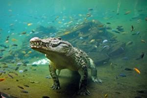 Photo Crocodiles Underwater world animal