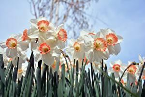 Bilder Narzissen Großansicht Weiß Blumen