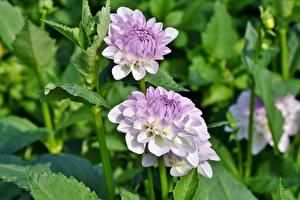 Fotos Dahlien Blüte