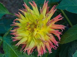 Photo Dahlias Closeup flower