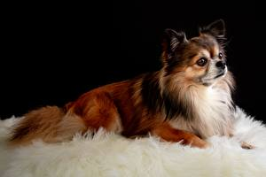 Image Dogs Chihuahua Esting Glance Animals