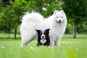 Bilder Hunde Samojede Border Collie Tiere