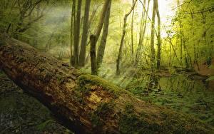 Hintergrundbilder Wälder Lichtstrahl Bäume Laubmoose Baumstamm