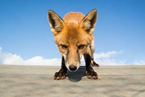 Hintergrundbilder Füchse Schnauze Starren ein Tier