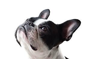 Bilder Französische Bulldogge Hautnah Hund Weißer hintergrund Kopf Blick ein Tier
